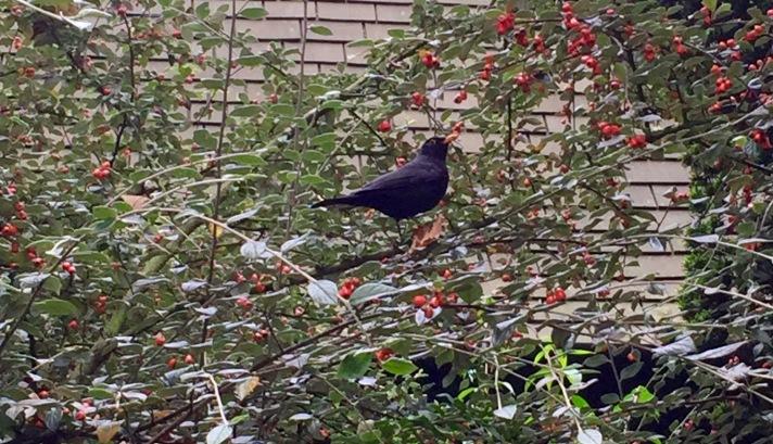 Blackbirdinatree