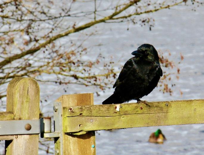 crow1-2